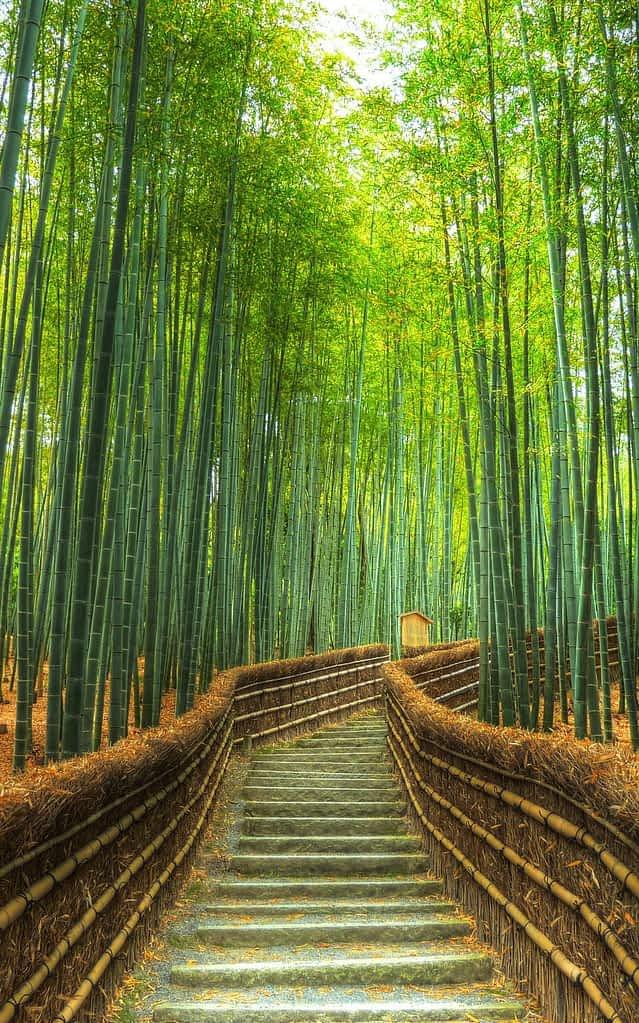 Бамбукова гора Арашияма, Япония